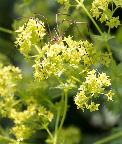 frauenmantel  plant  nature