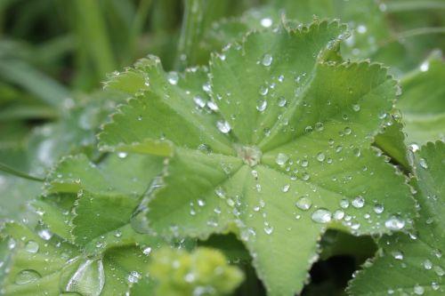 frauenmantel medicinal plant herbaceous plant