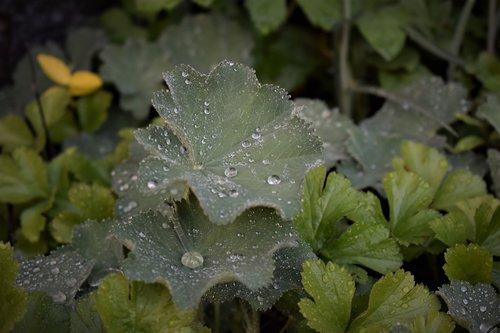 frauenmantel  plant  medicinal herb
