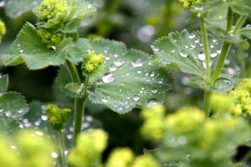 frauenmantel  plant  flower