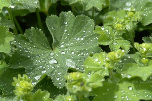frauenmantel plant dew