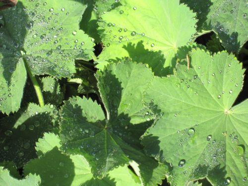 frauenmantel drop of water green