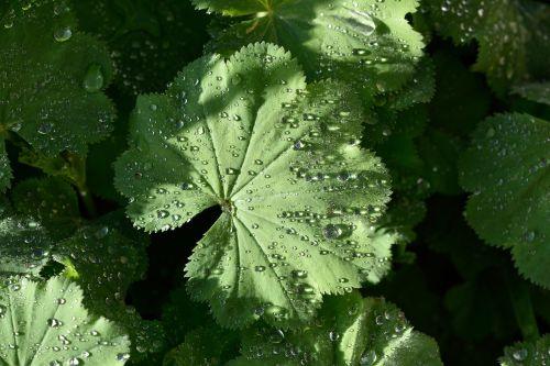 frauenmantel plant garden