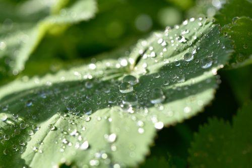 frauenmantel plant leaf