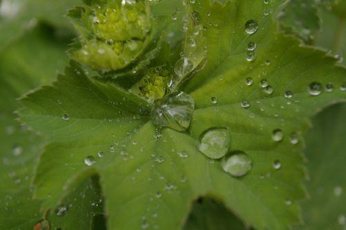 frauenmantel medicinal plant close
