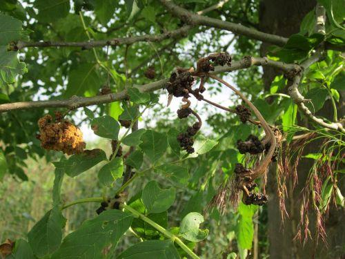 fraxinus excelsior, pelenai, bendri pelenai, europiniai pelenai, medis, augalas, lapai, filialas, flora, botanika, rūšis, vaisių