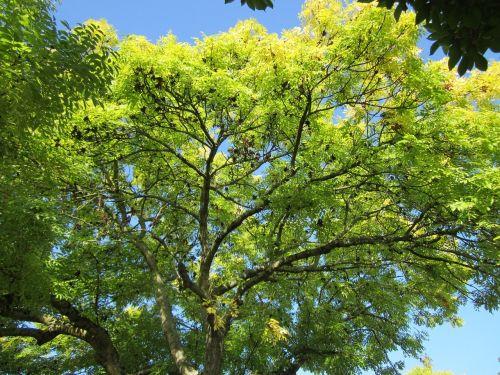 fraxinus excelsior, pelenai, europiniai pelenai, bendri pelenai, medis, augalas, flora, botanika, rūšis, lapija, lapai