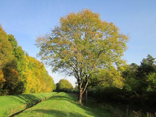 fraxinus excelsior, pelenai, europiniai pelenai, bendri pelenai, medis, flora, augalas, rūšis, lapija