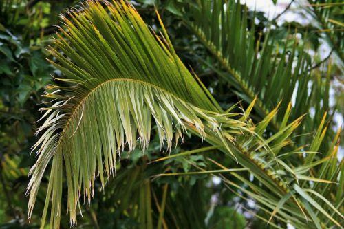 Frayed Palm Leaf