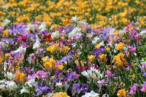 freesia freesias field of flowers