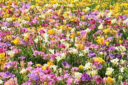 freesias field of flowers sea of flowers