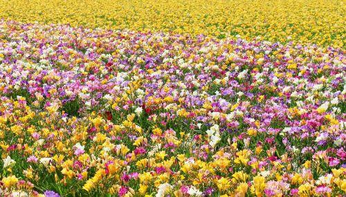 freesias field of flowers many