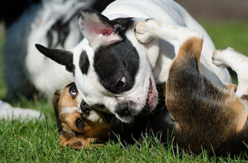 french bulldog puppy beagle