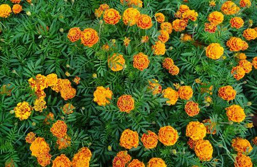 french marigold flower marigold