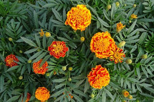french marigold flower flora
