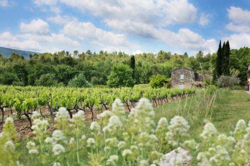 french vineyard grape vines france