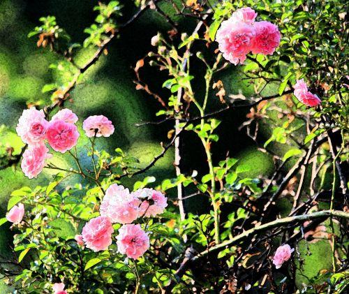 Fresco Effect Roses