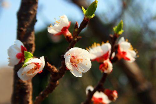 Fresh Blossoms
