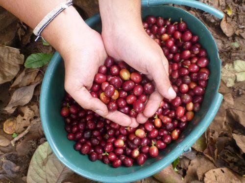 coffee beans frisch coffee