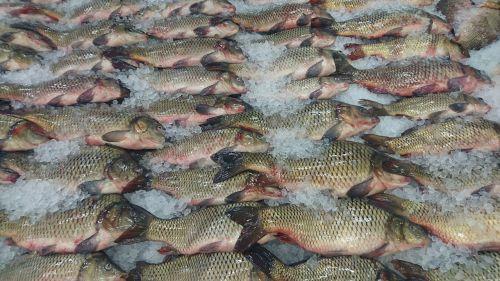 fresh fish nature catch