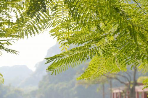 švieži gamta,akacijos medis,bukolinis