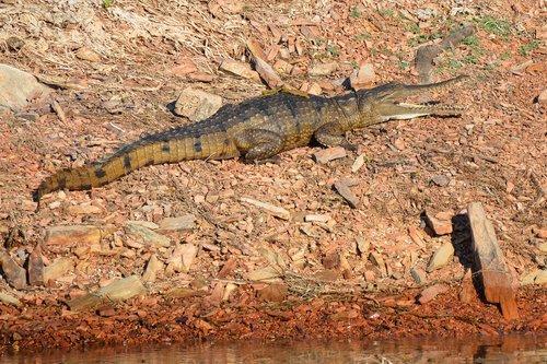 freshwater crocodile  crocodile  freshie