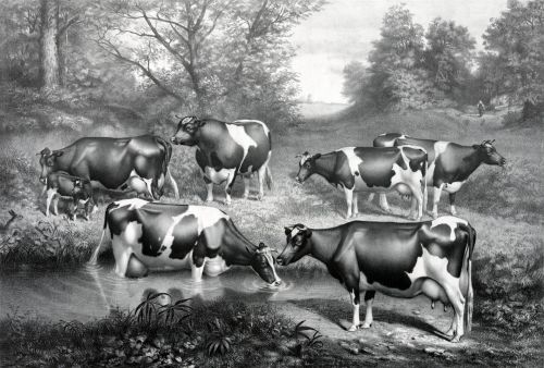 Fresian Cows In Pasture