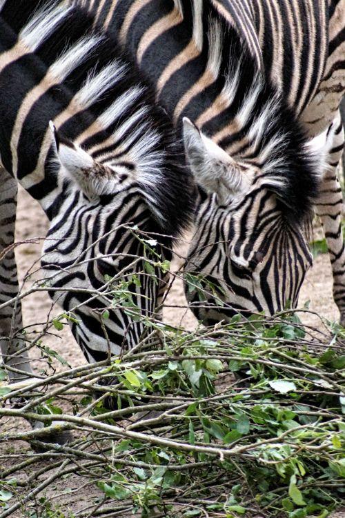 Friendly Zebras