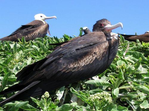 frigate bird birds hawaii