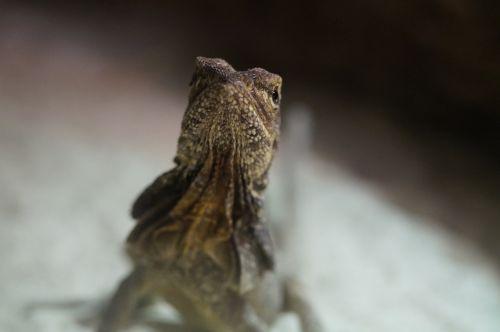 frill necked lizard lizard reptile