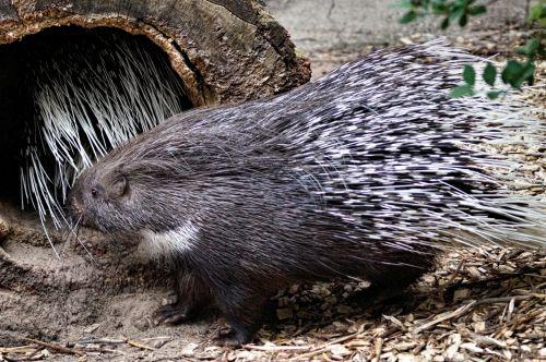 Frisky Porcupine