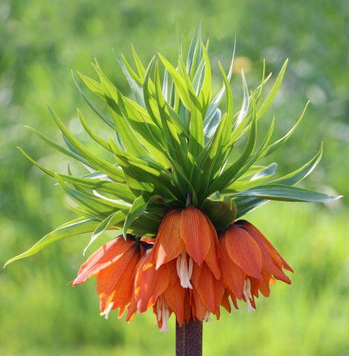 fritillaria fritillaria aurora flower