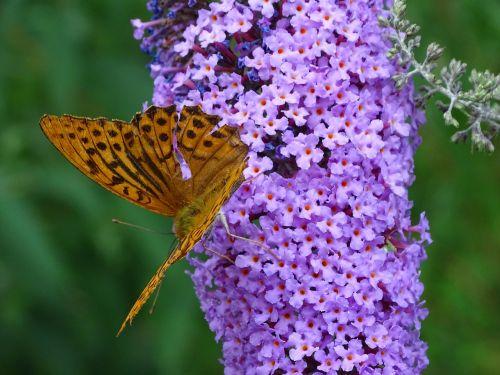 fritillary summer lilac butterfly