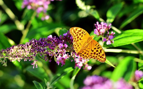 fritillary  butterfly  insect