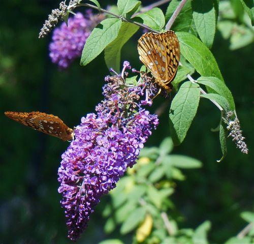 kriaušės drugelis,drugelis,gamta,vabzdys,drugelis krūmas,gėlės,žiedas,žydėti,sodas,oranžinė,violetinė