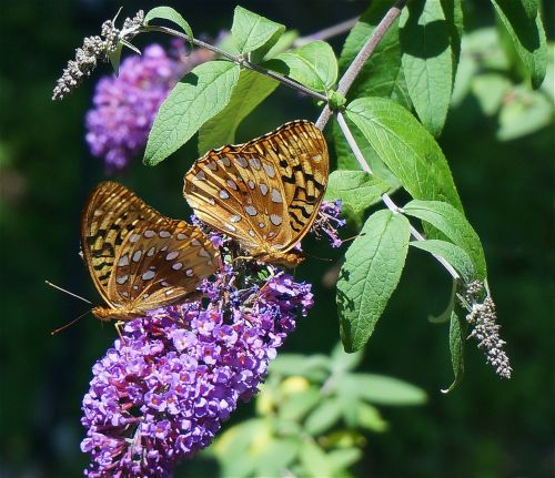fritillary butterfly butterfly nature