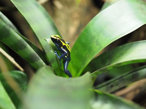 frog poison frog small