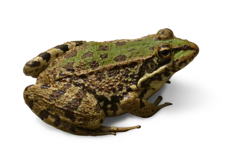 frog cropped image transparent background