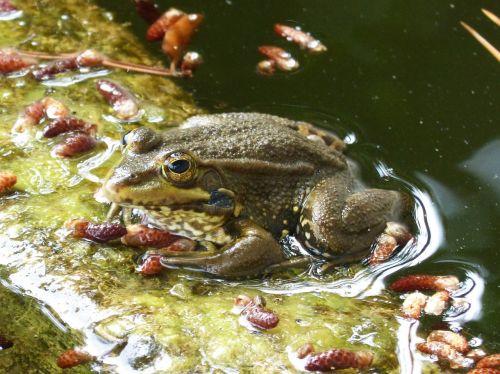 frog batrachian pond
