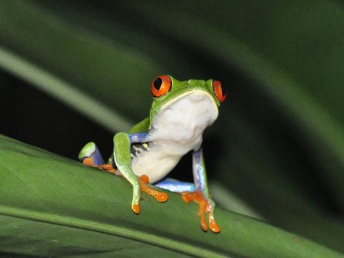 frog red-eyed tree frog jungle