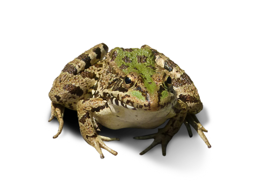 frog cropped image frog bottomless