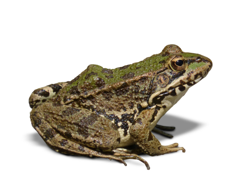 frog batrachian transparent background