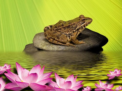 frog water lily stone