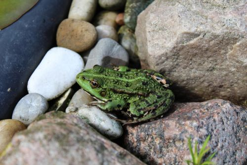 varlė,tvenkinys,žalias,sodo tvenkinys,varlės tvenkinys,amfibija,gyvūnas,Uždaryti,gamta,padaras