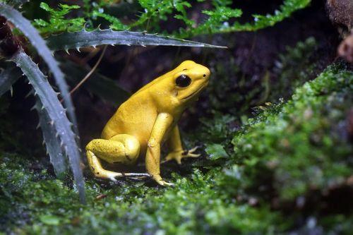 frog toxic yellow
