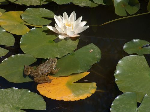 frog waterlily prince