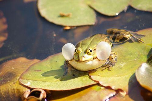 frog green vocal sac