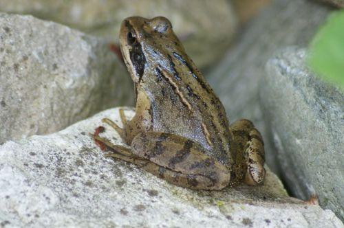 frog nature amphibians