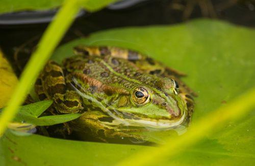 varlė,tvenkinys,varliagyviai,vanduo,vandens varlė,gamta,žalias,ežeras,gyvūnas,sodas,Medžio varlė,vandens gyvūnai,sodo tvenkinys,varlės tvenkinys,rupūžė,tvenkinys su varlėmis,varlės