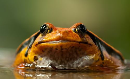 frog toad eyes